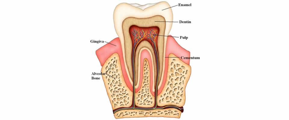 Endodontics, Inside the Tooth