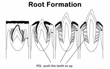 Root Formation